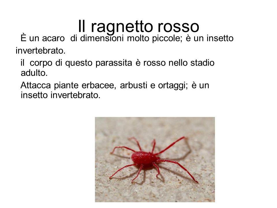 Il ragnetto rosso È un acaro di dimensioni molto piccole; è un insetto invertebrato.