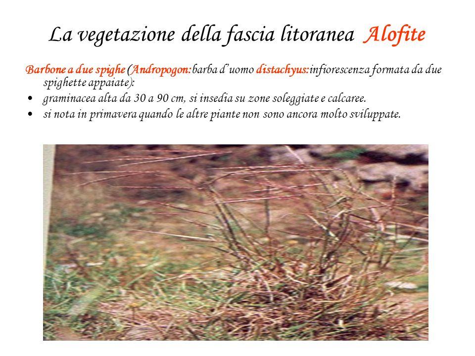 La vegetazione della fascia litoranea Alofite Barbone a due spighe (Andropogon:barba duomo distachyus:infiorescenza formata da due spighette appaiate): graminacea alta da 30 a 90 cm, si insedia su zone soleggiate e calcaree.