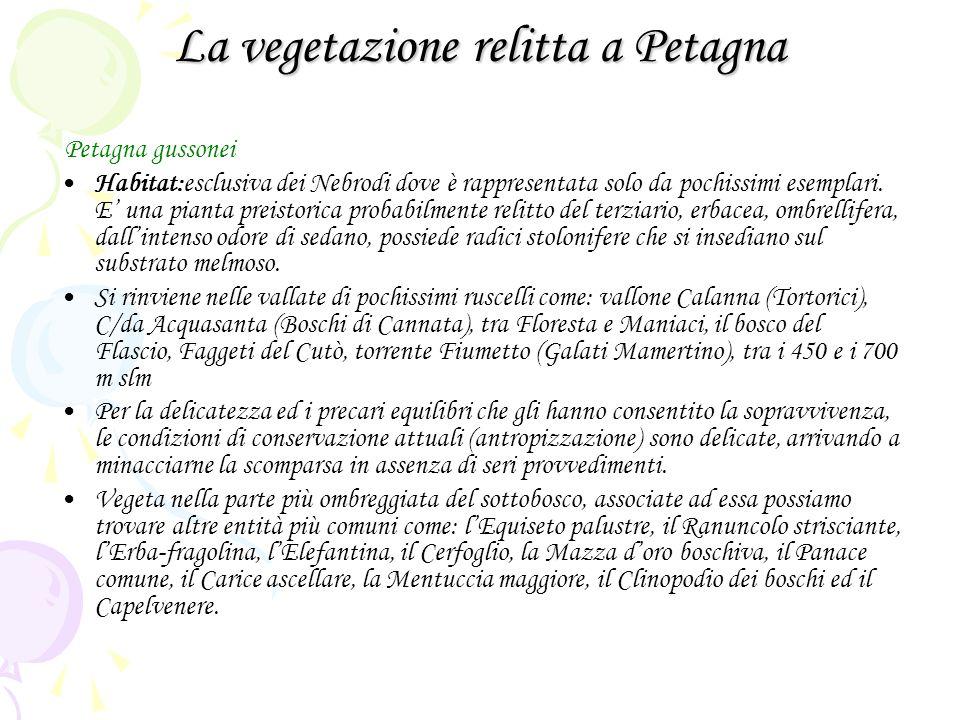 La vegetazione relitta a Petagna Petagna gussonei Habitat:esclusiva dei Nebrodi dove è rappresentata solo da pochissimi esemplari. E una pianta preist