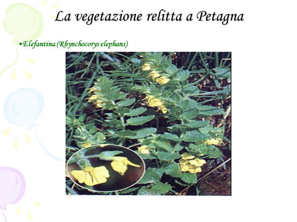 La vegetazione relitta a Petagna Elefantina (Rhynchocorys elephans)