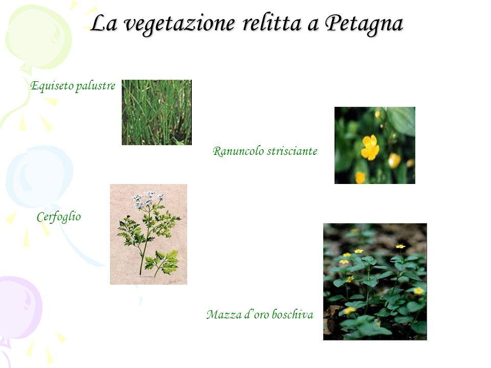 La vegetazione relitta a Petagna Equiseto palustre Ranuncolo strisciante Cerfoglio Mazza doro boschiva