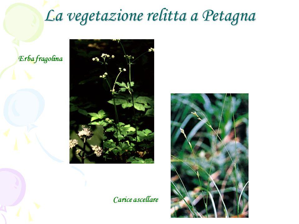 La vegetazione relitta a Petagna Erba fragolina Carice ascellare
