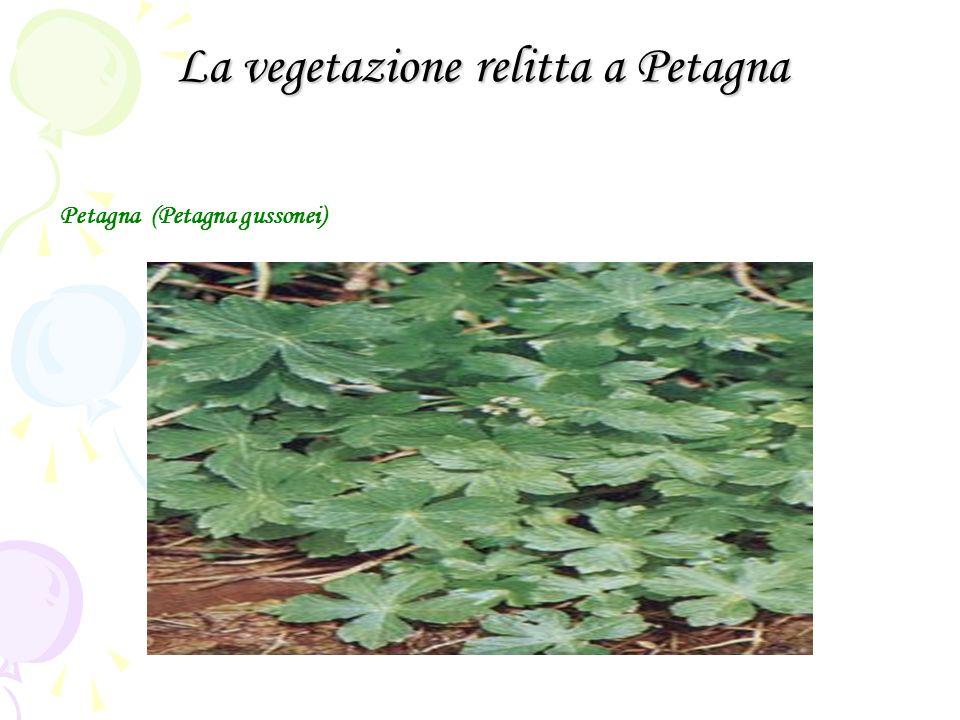La vegetazione relitta a Petagna Petagna (Petagna gussonei)