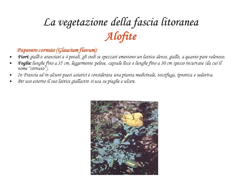 La vegetazione della fascia litoranea Alofite Papavero cornuto (Glaucium flavum): Fiori: gialli o aranciati a 4 petali, gli steli se spezzati emettono