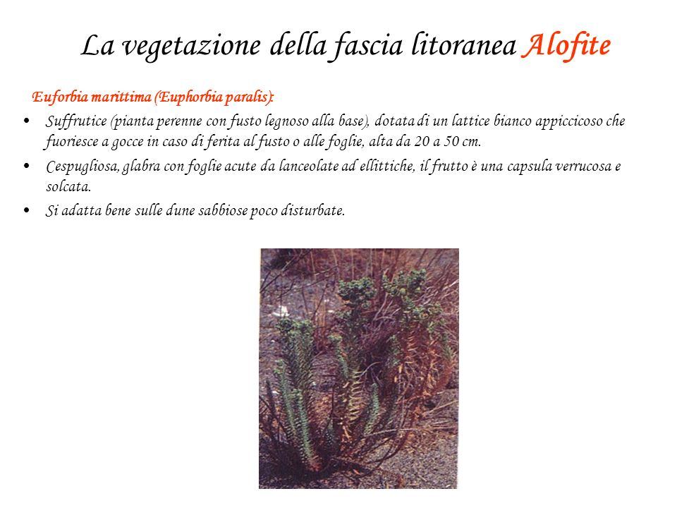 La vegetazione della fascia litoranea Alofite Euforbia marittima (Euphorbia paralis): Suffrutice (pianta perenne con fusto legnoso alla base), dotata di un lattice bianco appiccicoso che fuoriesce a gocce in caso di ferita al fusto o alle foglie, alta da 20 a 50 cm.
