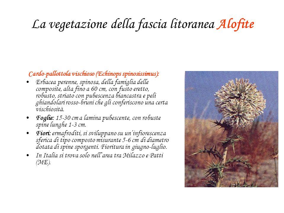 La vegetazione della fascia litoranea Alofite Cardo-pallottola vischioso (Echinops spinosissimus): Erbacea perenne, spinosa, della famiglia delle comp