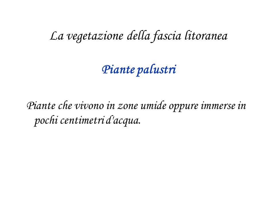 La vegetazione della fascia litoranea Piante palustri Piante che vivono in zone umide oppure immerse in pochi centimetri d'acqua.