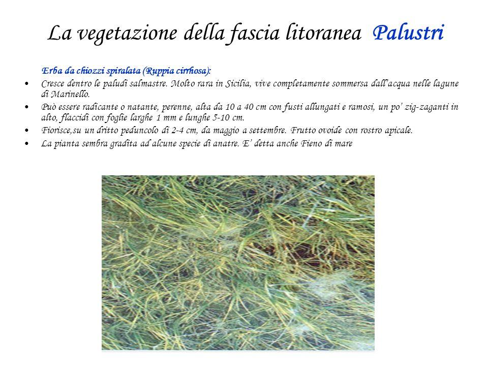 La vegetazione della fascia litoranea Palustri Erba da chiozzi spiralata (Ruppia cirrhosa): Cresce dentro le paludi salmastre.