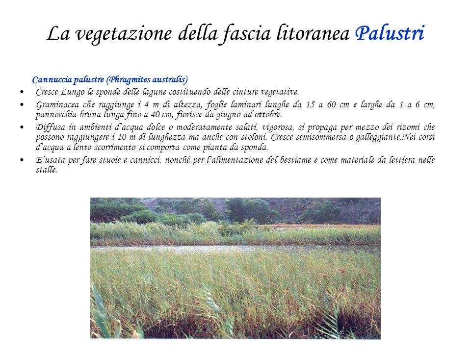 La vegetazione della fascia litoranea Palustri Cannuccia palustre (Phragmites australis) Cresce Lungo le sponde delle lagune costituendo delle cinture vegetative.