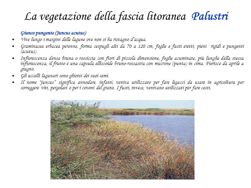 La vegetazione della fascia litoranea Palustri Giunco pungente (Juncus acutus) Vive lungo i margini delle lagune ove non si ha ristagno dacqua. Gramin