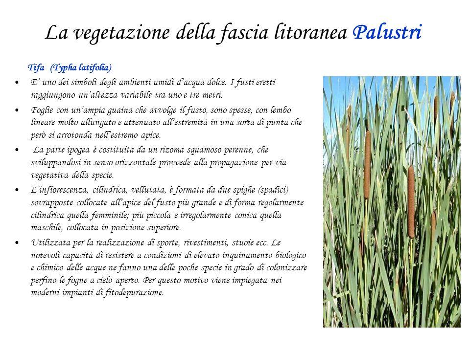 La vegetazione della fascia litoranea Palustri Tifa (Typha latifolia) E uno dei simboli degli ambienti umidi dacqua dolce. I fusti eretti raggiungono