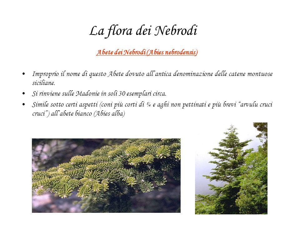 La flora dei Nebrodi Abete dei Nebrodi (Abies nebrodensis) Improprio il nome di questo Abete dovuto allantica denominazione delle catene montuose siciliane.