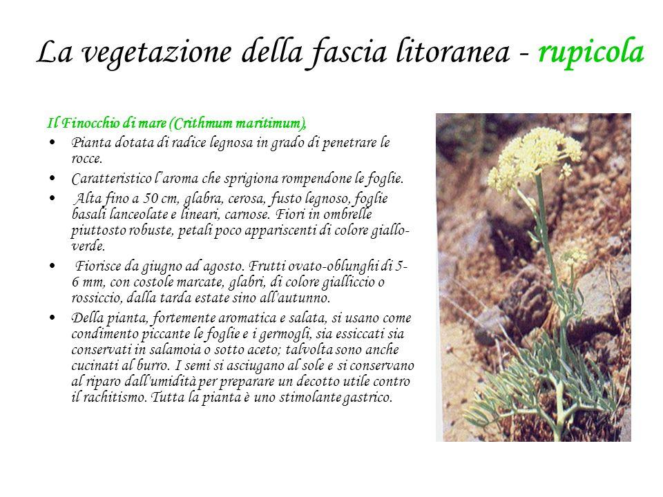 La vegetazione della fascia litoranea - rupicola Il Finocchio di mare (Crithmum maritimum), Pianta dotata di radice legnosa in grado di penetrare le rocce.