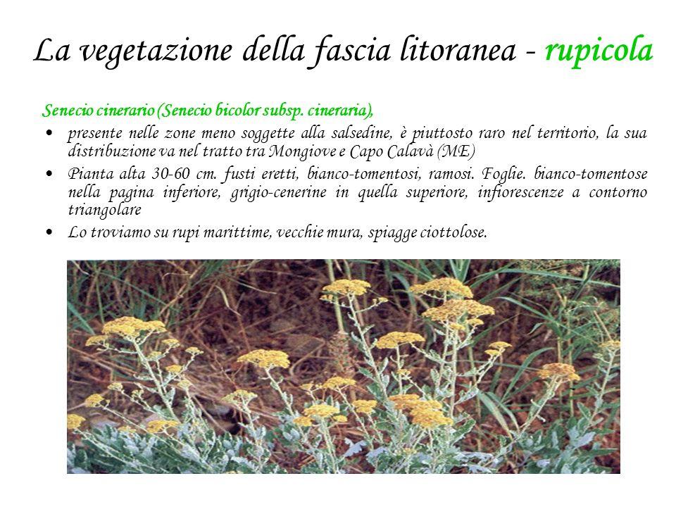La vegetazione della fascia litoranea - rupicola Senecio cinerario (Senecio bicolor subsp. cineraria), presente nelle zone meno soggette alla salsedin