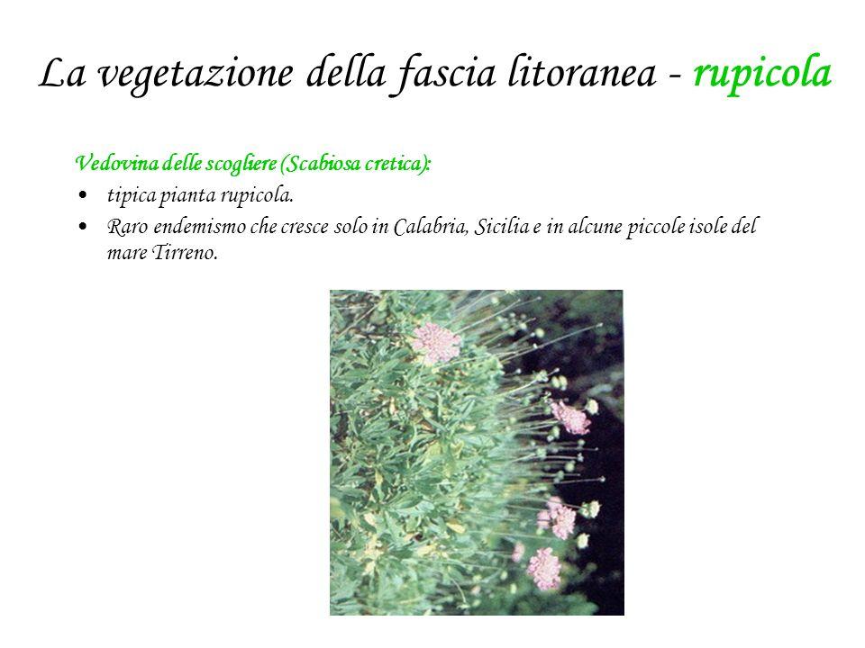 La vegetazione della fascia litoranea - rupicola Vedovina delle scogliere (Scabiosa cretica): tipica pianta rupicola. Raro endemismo che cresce solo i
