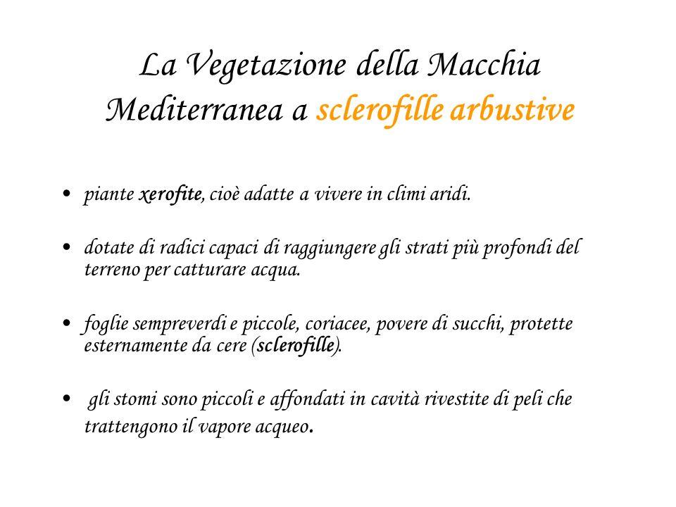 La Vegetazione della Macchia Mediterranea a sclerofille arbustive piante xerofite, cioè adatte a vivere in climi aridi. dotate di radici capaci di rag