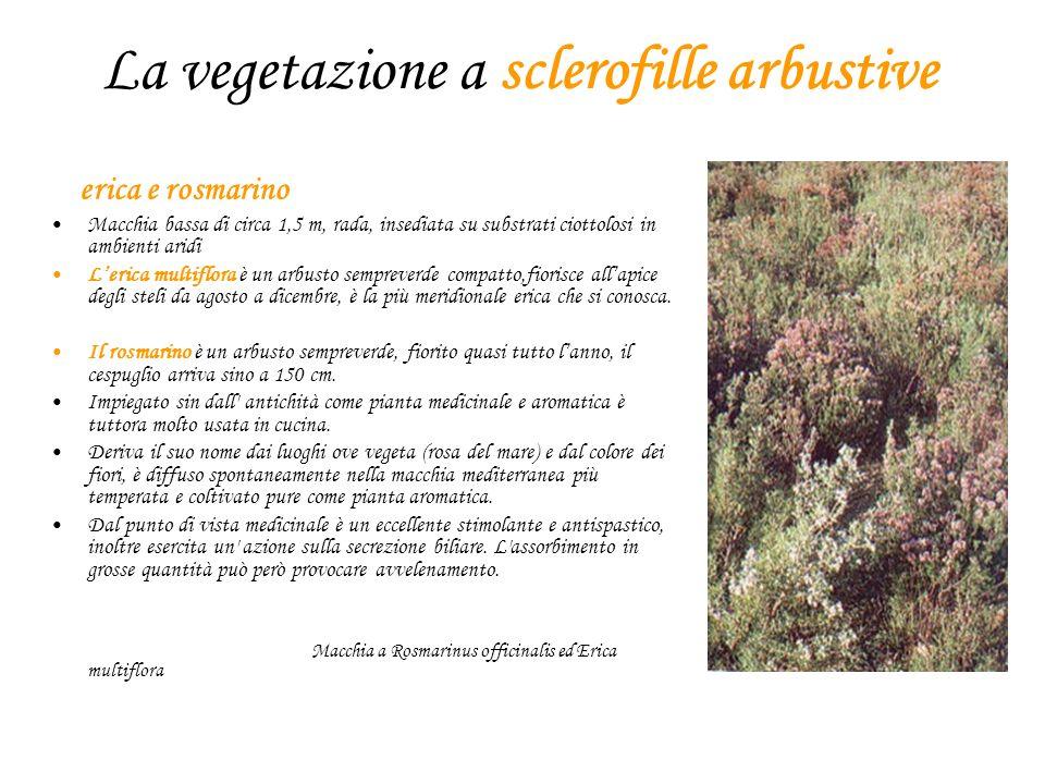 La vegetazione a sclerofille arbustive erica e rosmarino Macchia bassa di circa 1,5 m, rada, insediata su substrati ciottolosi in ambienti aridi Leric