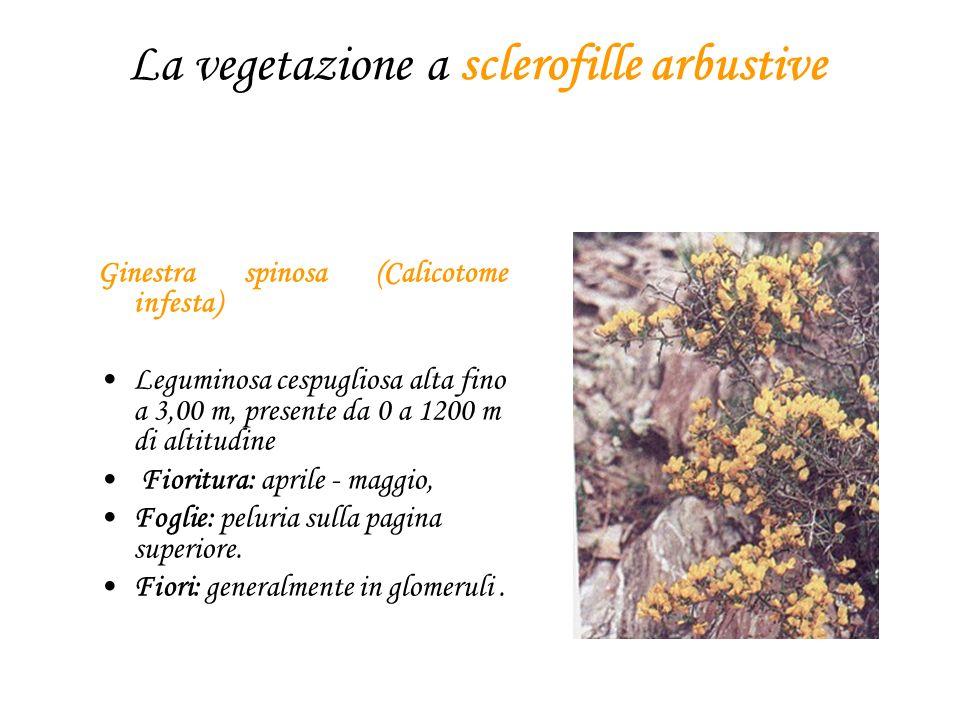 La vegetazione a sclerofille arbustive Ginestra spinosa (Calicotome infesta) Leguminosa cespugliosa alta fino a 3,00 m, presente da 0 a 1200 m di altitudine Fioritura: aprile - maggio, Foglie: peluria sulla pagina superiore.