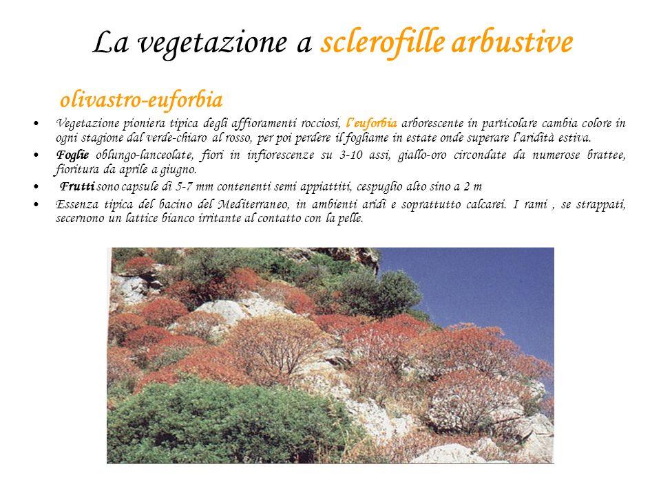 La vegetazione a sclerofille arbustive olivastro-euforbia Vegetazione pioniera tipica degli affioramenti rocciosi, leuforbia arborescente in particola