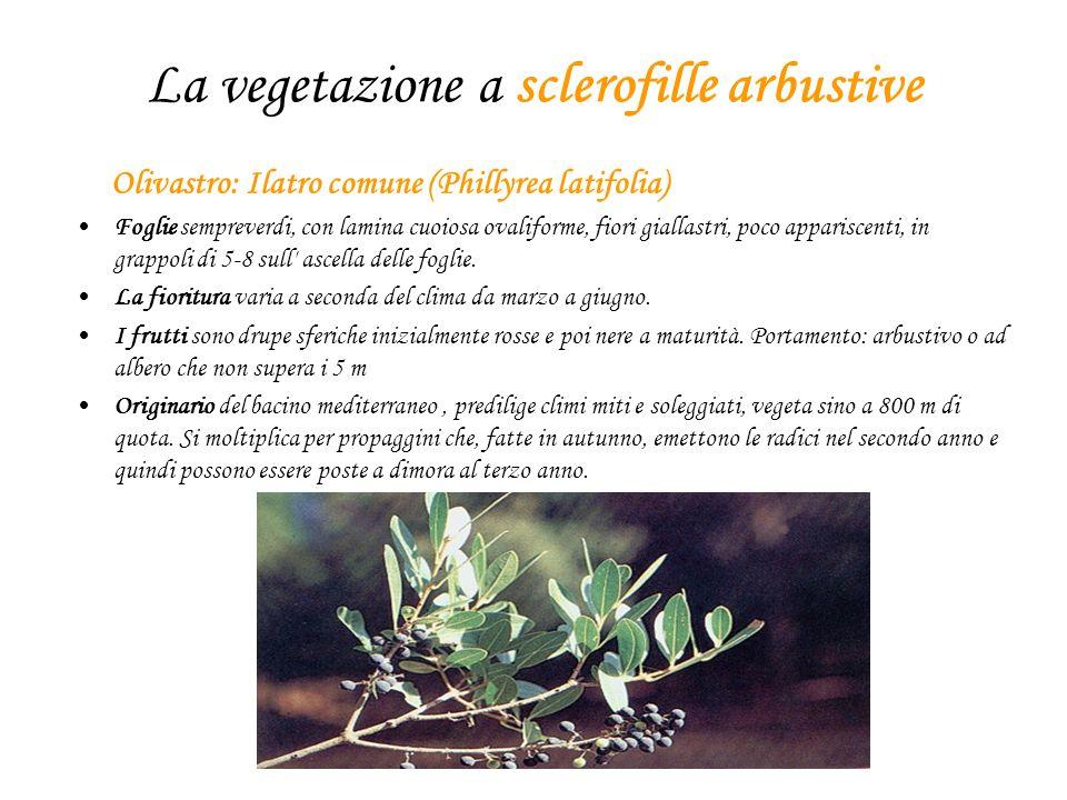 La vegetazione a sclerofille arbustive Olivastro: Ilatro comune (Phillyrea latifolia) Foglie sempreverdi, con lamina cuoiosa ovaliforme, fiori giallastri, poco appariscenti, in grappoli di 5-8 sull ascella delle foglie.