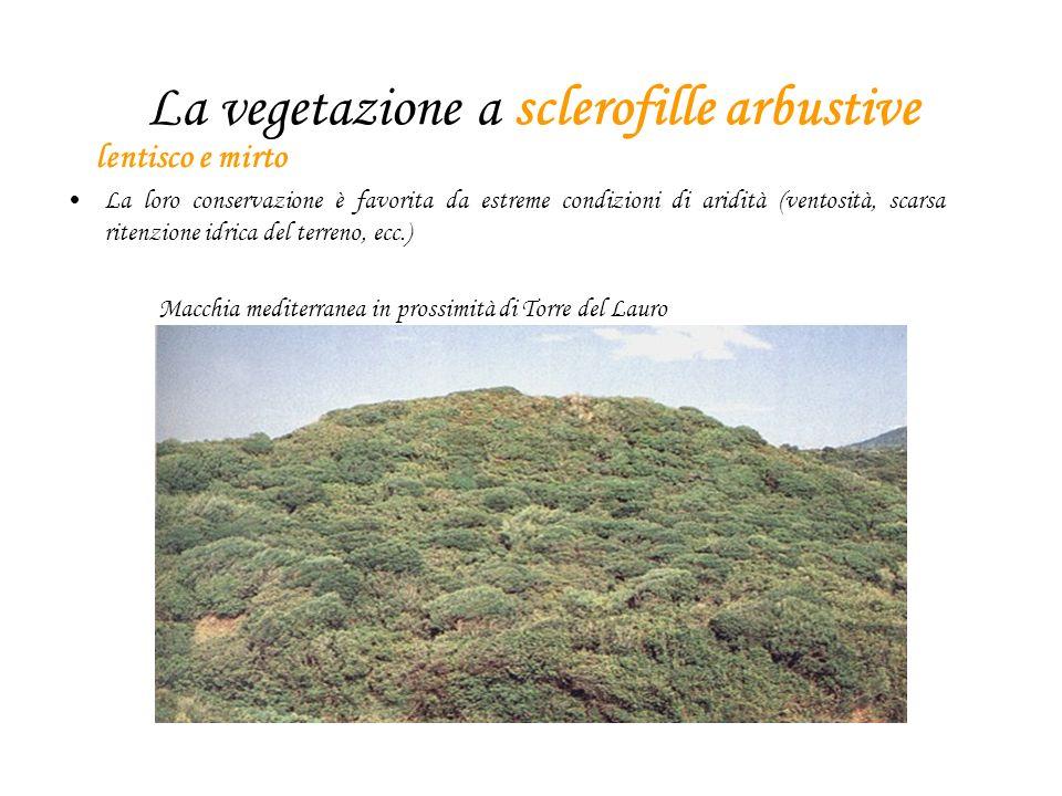 La vegetazione a sclerofille arbustive lentisco e mirto La loro conservazione è favorita da estreme condizioni di aridità (ventosità, scarsa ritenzione idrica del terreno, ecc.) Macchia mediterranea in prossimità di Torre del Lauro