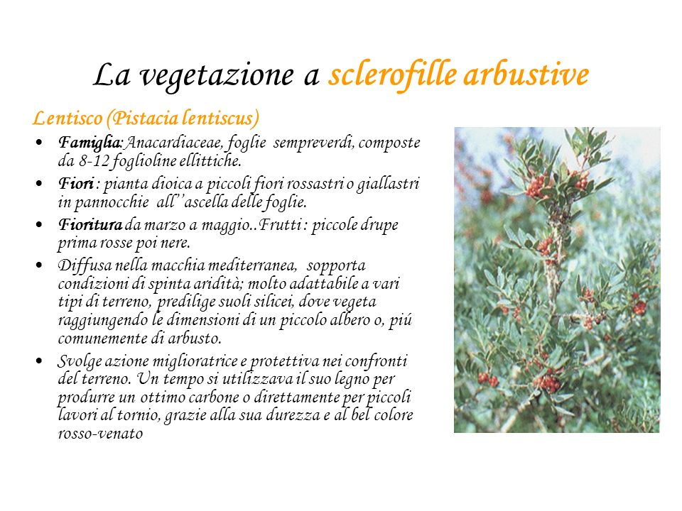 La vegetazione a sclerofille arbustive Lentisco (Pistacia lentiscus) Famiglia:Anacardiaceae, foglie sempreverdi, composte da 8-12 foglioline ellittiche.