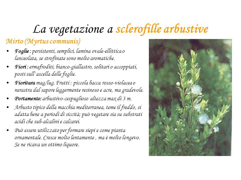 La vegetazione a sclerofille arbustive Mirto (Myrtus communis) Foglie : persistenti, semplici, lamina ovale-ellittica o lanceolata, se strofinate sono molto aromatiche.