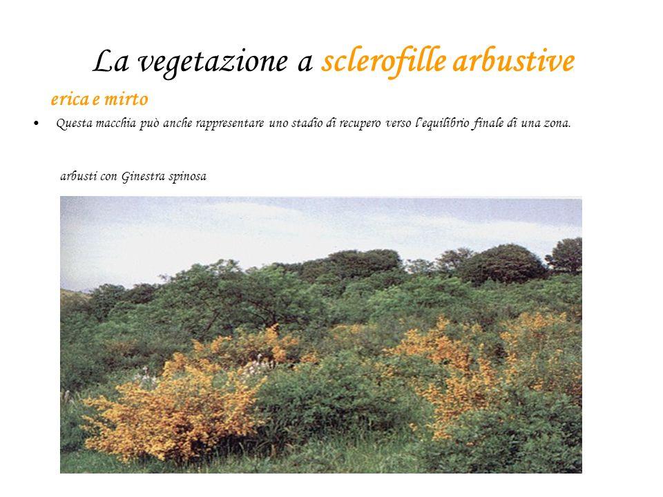 La vegetazione a sclerofille arbustive erica e mirto Questa macchia può anche rappresentare uno stadio di recupero verso lequilibrio finale di una zona.