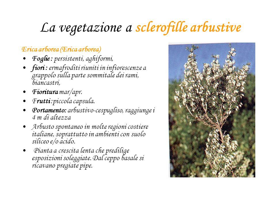 La vegetazione a sclerofille arbustive Erica arborea (Erica arborea) Foglie : persistenti, aghiformi, fiori : ermafroditi riuniti in infiorescenze a g