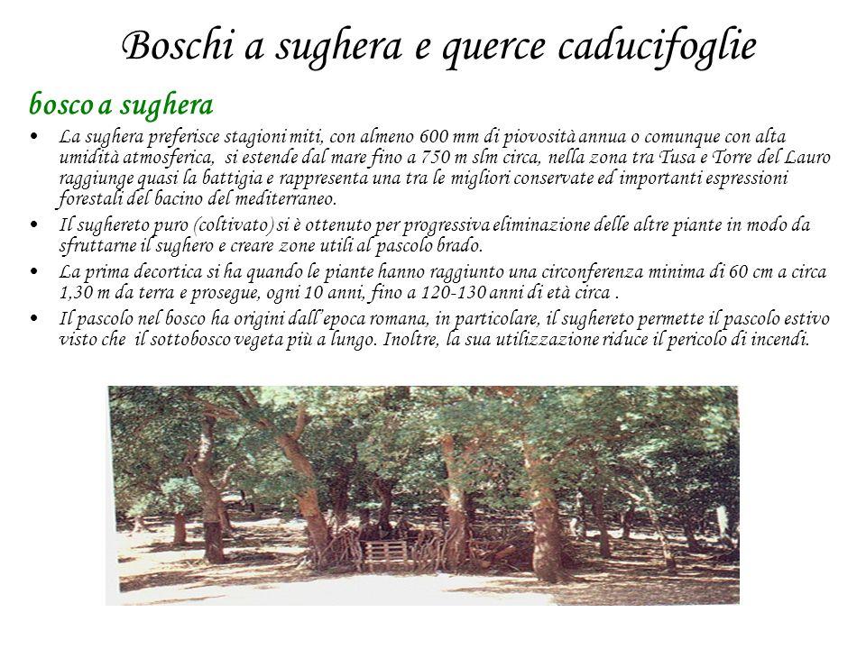 Boschi a sughera e querce caducifoglie bosco a sughera La sughera preferisce stagioni miti, con almeno 600 mm di piovosità annua o comunque con alta u