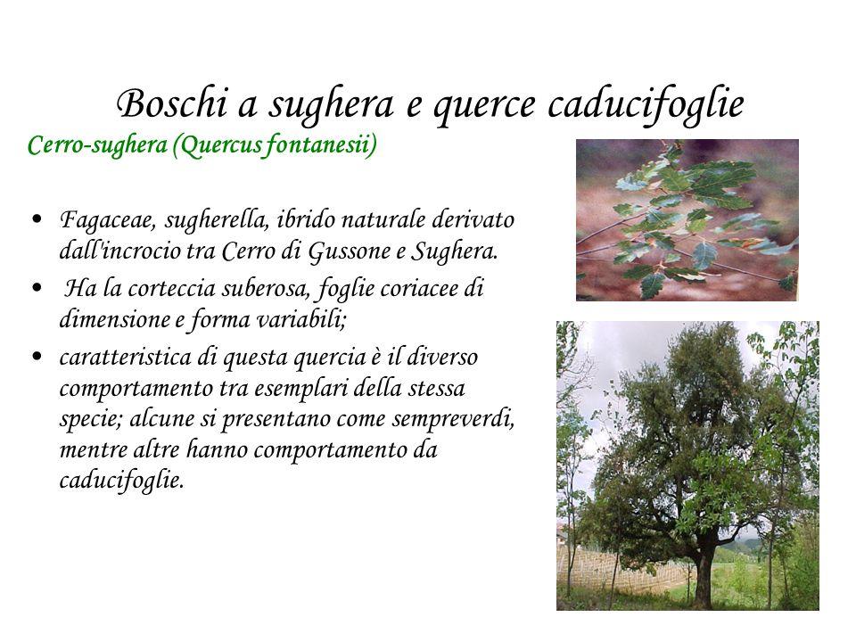 Boschi a sughera e querce caducifoglie Cerro-sughera (Quercus fontanesii) Fagaceae, sugherella, ibrido naturale derivato dall incrocio tra Cerro di Gussone e Sughera.