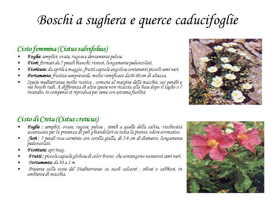 Boschi a sughera e querce caducifoglie Cisto femmina (Cistus salvifolius) Foglie: semplici, ovate, rugose e densamente pelose. Fiori: formati da 5 pet