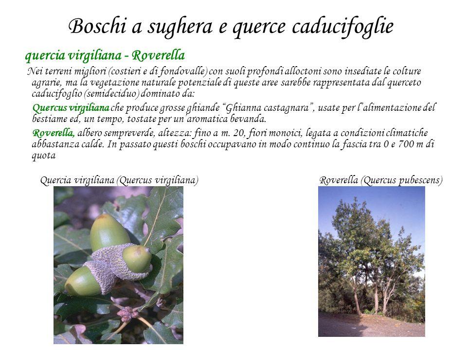 Boschi a sughera e querce caducifoglie quercia virgiliana - Roverella Nei terreni migliori (costieri e di fondovalle) con suoli profondi alloctoni son
