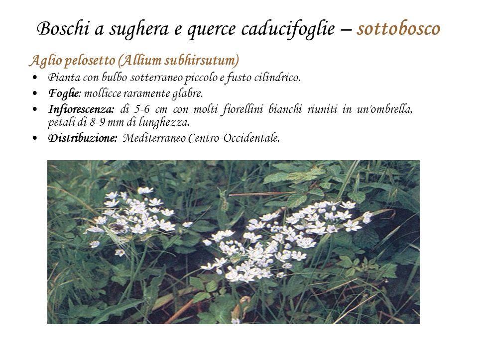 Boschi a sughera e querce caducifoglie – sottobosco Aglio pelosetto (Allium subhirsutum) Pianta con bulbo sotterraneo piccolo e fusto cilindrico. Fogl