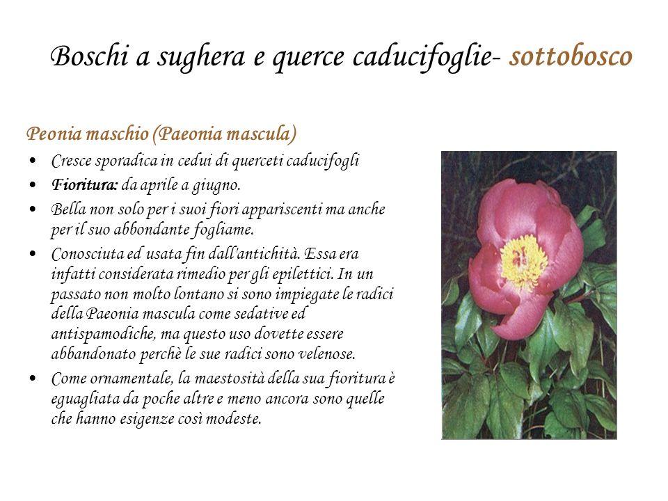 Boschi a sughera e querce caducifoglie- sottobosco Peonia maschio (Paeonia mascula) Cresce sporadica in cedui di querceti caducifogli Fioritura: da aprile a giugno.