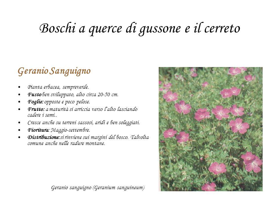 Boschi a querce di gussone e il cerreto Geranio Sanguigno Pianta erbacea, sempreverde. Fusto ben sviluppato, alto circa 20-50 cm. Foglie: opposte e po