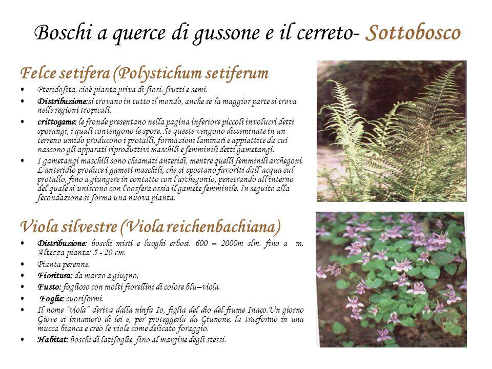Boschi a querce di gussone e il cerreto- Sottobosco Felce setifera (Polystichum setiferum Pteridofita, cioè pianta priva di fiori, frutti e semi. Dist