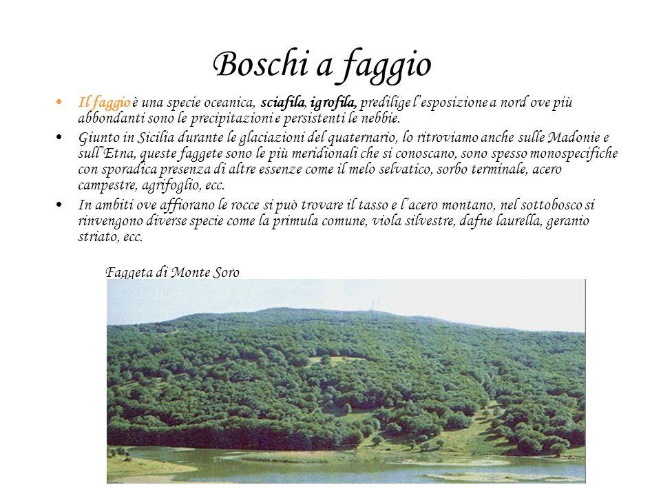 Boschi a faggio Il faggio è una specie oceanica, sciafila, igrofila, predilige lesposizione a nord ove più abbondanti sono le precipitazioni e persistenti le nebbie.
