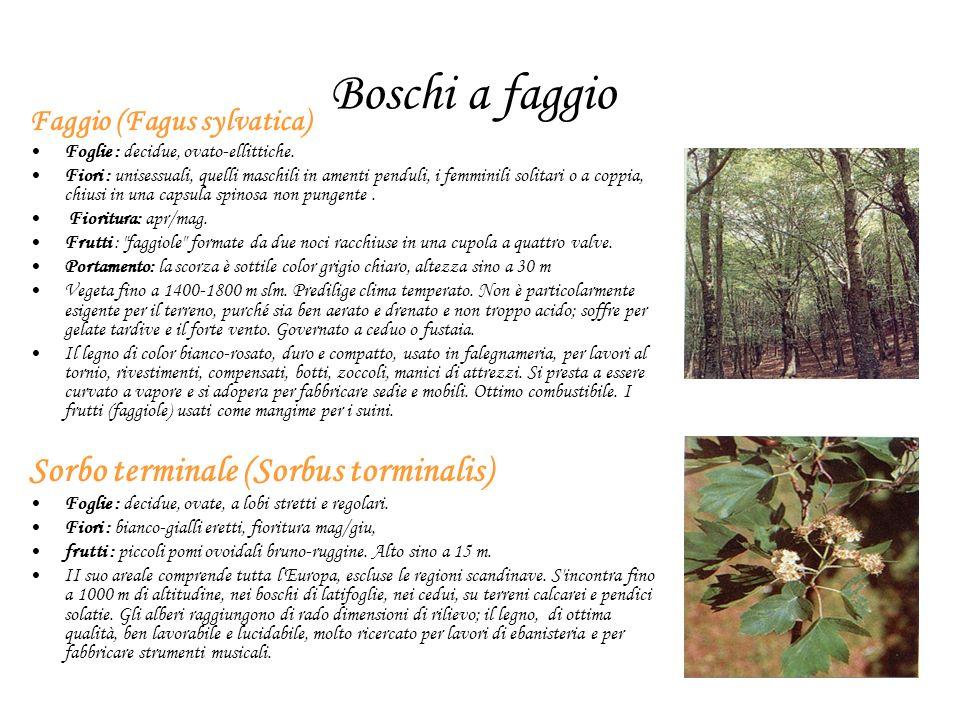 Boschi a faggio Faggio (Fagus sylvatica) Foglie : decidue, ovato-ellittiche. Fiori : unisessuali, quelli maschili in amenti penduli, i femminili solit