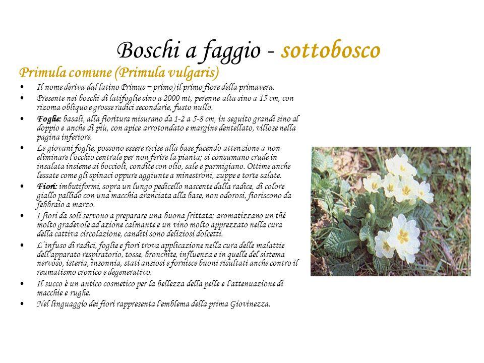 Boschi a faggio - sottobosco Primula comune (Primula vulgaris) Il nome deriva dal latino Primus = primo) il primo fiore della primavera. Presente nei