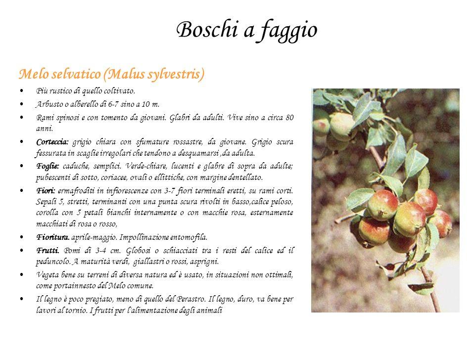 Boschi a faggio Melo selvatico (Malus sylvestris) Più rustico di quello coltivato. Arbusto o alberello di 6-7 sino a 10 m. Rami spinosi e con tomento