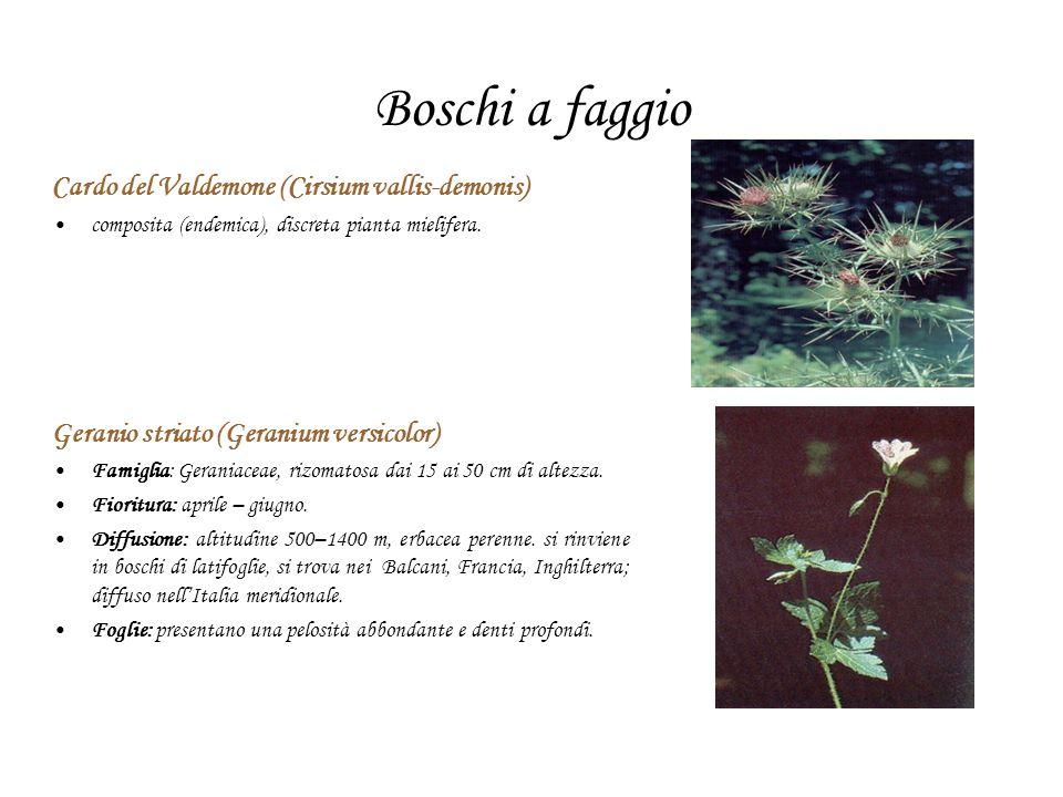 Boschi a faggio Cardo del Valdemone (Cirsium vallis-demonis) composita (endemica), discreta pianta mielifera. Geranio striato (Geranium versicolor) Fa