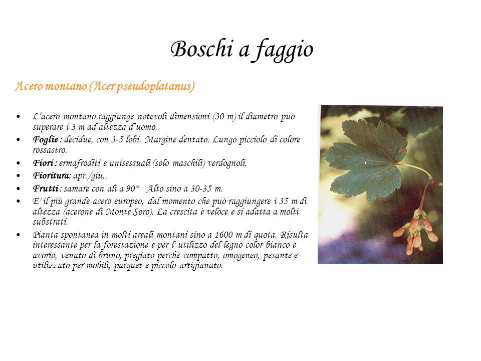 Boschi a faggio Acero montano (Acer pseudoplatanus) Lacero montano raggiunge notevoli dimensioni (30 m) il diametro può superare i 3 m ad altezza duomo.