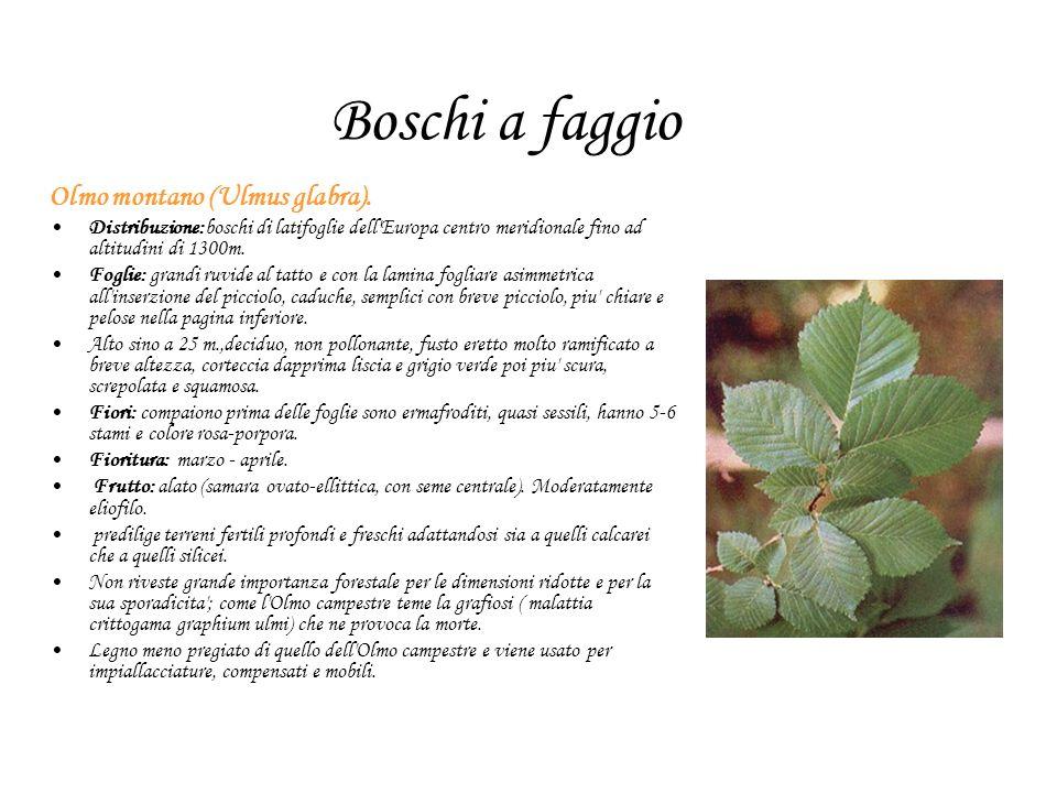 Boschi a faggio Olmo montano (Ulmus glabra).