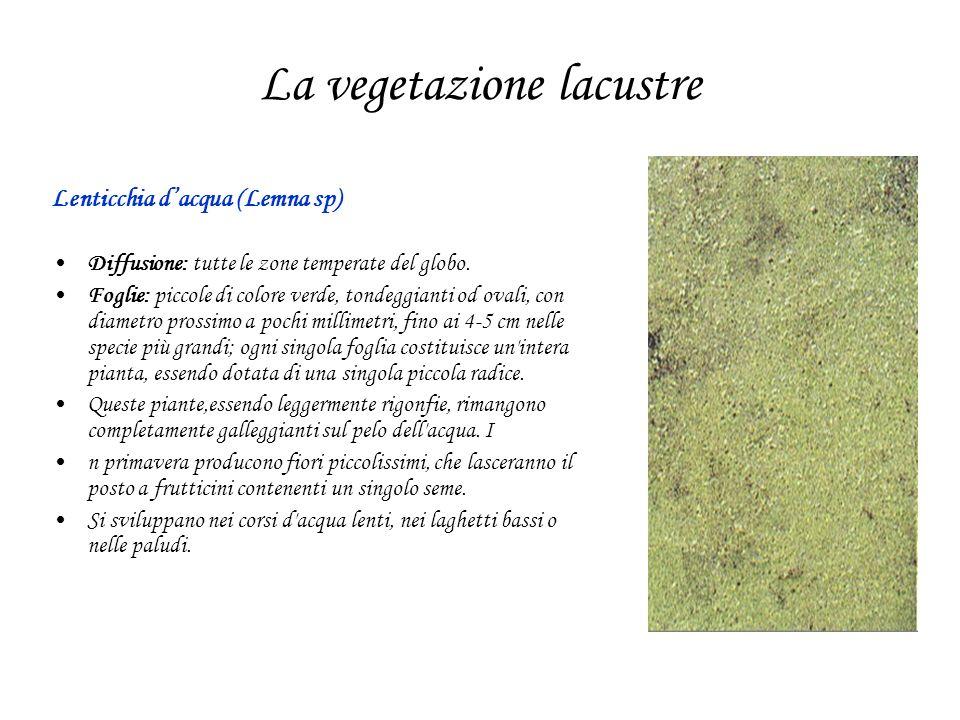 La vegetazione lacustre Lenticchia dacqua (Lemna sp) Diffusione: tutte le zone temperate del globo. Foglie: piccole di colore verde, tondeggianti od o