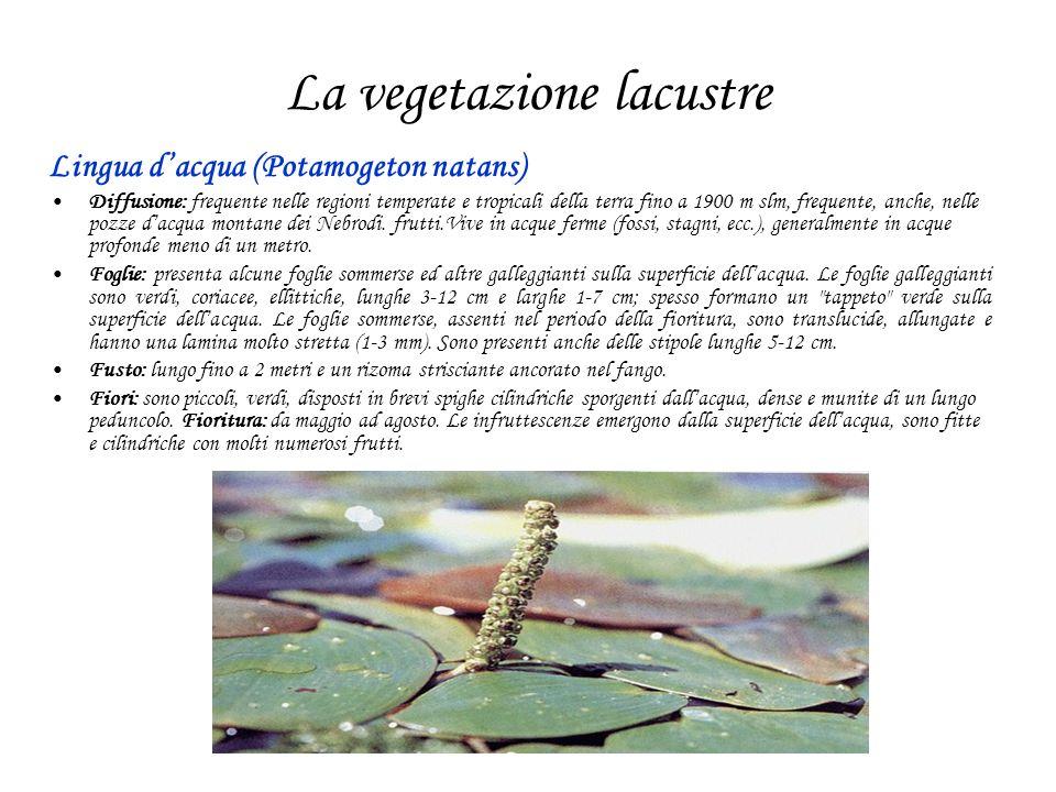 La vegetazione lacustre Lingua dacqua (Potamogeton natans) Diffusione: frequente nelle regioni temperate e tropicali della terra fino a 1900 m slm, frequente, anche, nelle pozze dacqua montane dei Nebrodi.