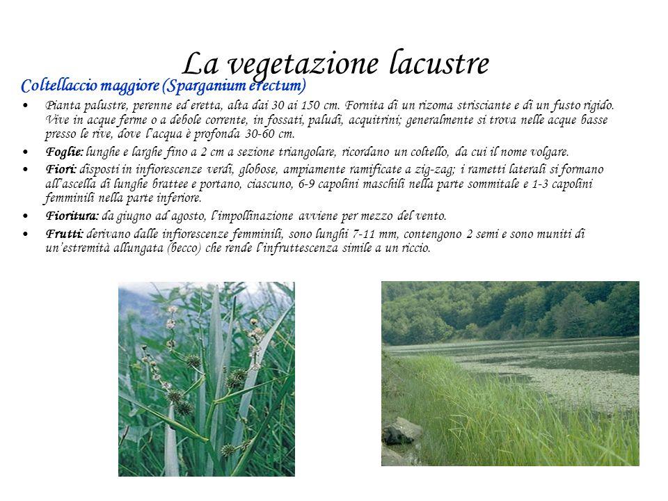 La vegetazione lacustre Coltellaccio maggiore (Sparganium erectum) Pianta palustre, perenne ed eretta, alta dai 30 ai 150 cm. Fornita di un rizoma str