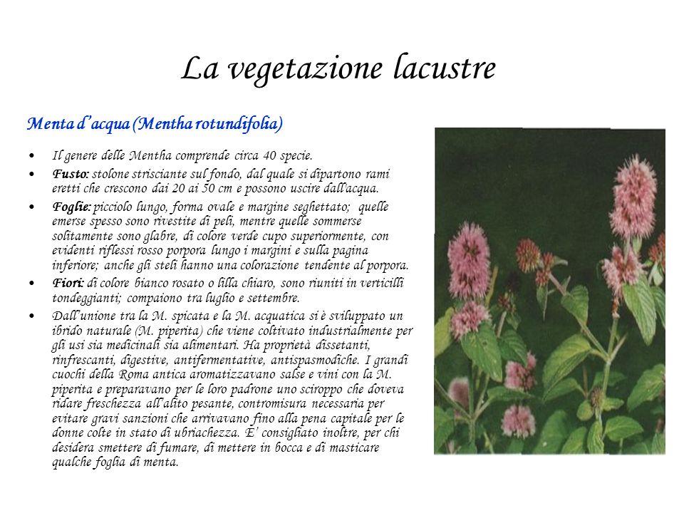 La vegetazione lacustre Menta dacqua (Mentha rotundifolia) Il genere delle Mentha comprende circa 40 specie. Fusto: stolone strisciante sul fondo, dal
