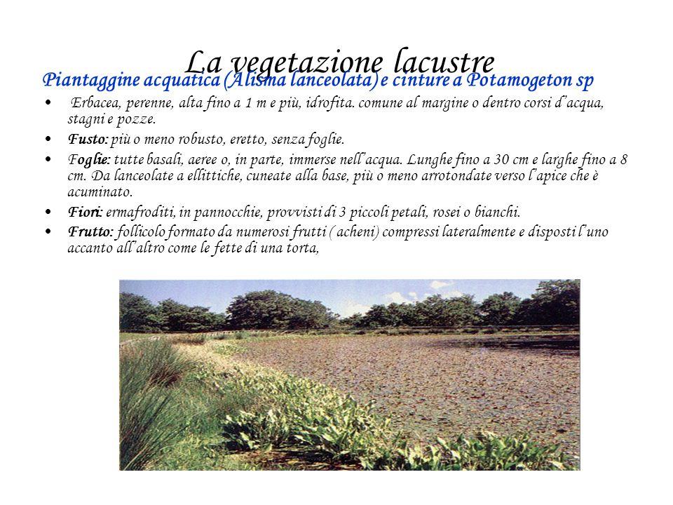 La vegetazione lacustre Piantaggine acquatica (Alisma lanceolata) e cinture a Potamogeton sp Erbacea, perenne, alta fino a 1 m e più, idrofita. comune