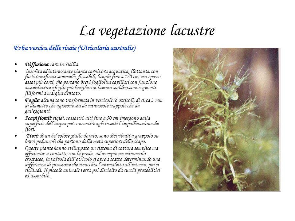 La vegetazione lacustre Erba vescica delle risaie (Utricolaria australis) Diffusione: rara in Sicilia. insolita ed interessante pianta carnivora acqua